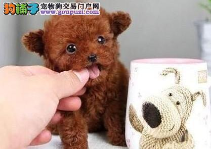 纯种卡哇伊泰迪犬出售 玩具微小型泰迪犬 包健康纯种