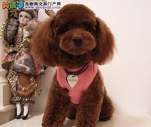 家养赛级泰迪犬宝宝品质纯正签订三包合同