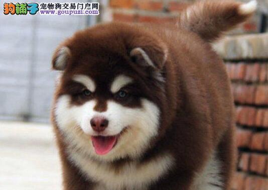 欢迎选购成都阿拉斯加雪橇犬包纯种健康可签包存活协议