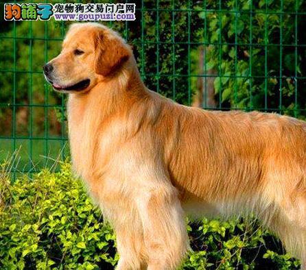 合肥售纯种金毛犬 黄金猎犬 金毛巡回犬幼犬