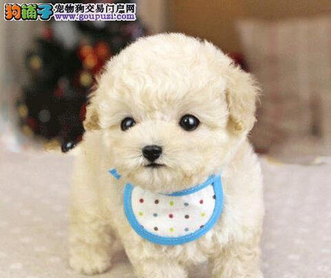 多种颜色的济南泰迪犬找爸爸妈妈 请大家放心品质售后3