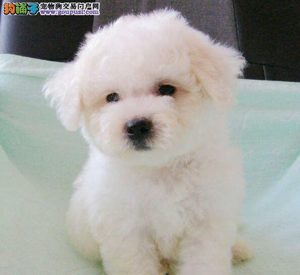CKU注册犬舍出售北京城毛量最牛的比熊犬 健康质保