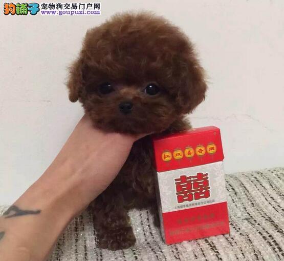 烟台犬舍出售超级完美高品质泰迪犬 各种颜色均有