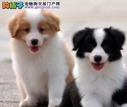 出售高品质血统边境牧羊犬幼犬,3公4母品相极佳!!