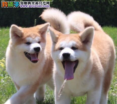 中国大型秋田专业养殖基地常年出售高品质秋田犬幼犬