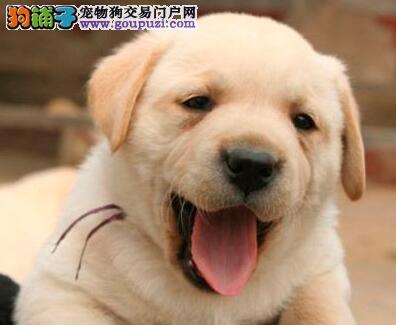 拉布拉多犬禁食的六大类食物