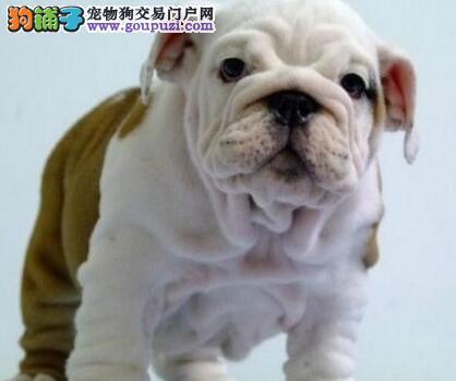 遂宁市出售英国斗牛犬可视频看狗质保三年三个月包退换