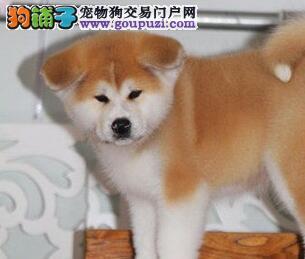 转让毛色好纯日系的福州秋田犬质保出售可送货上门