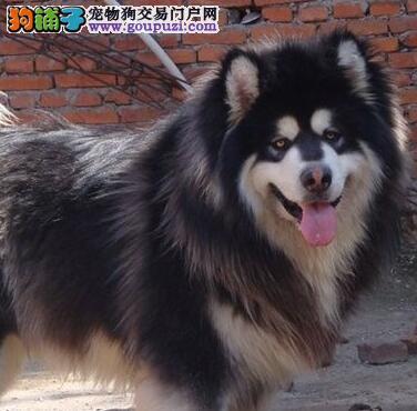 福州犬舍纯种阿拉斯加犬出售中保健康送用品