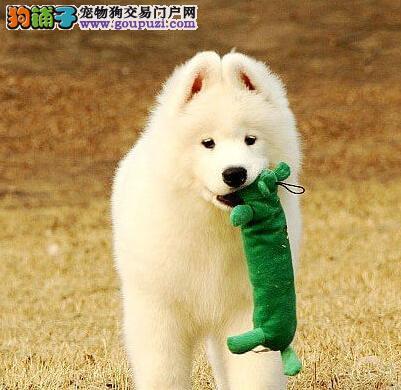高端萨摩耶幼犬、假一赔十质量保障、等您接它回家3