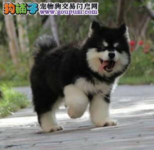 上海售精品阿拉斯加幼犬 大阿 阿拉疫苗驱虫已做包邮