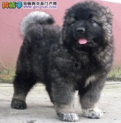 杭州出售高加索犬/高加索幼犬/血统纯种健康/可上门