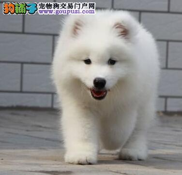 高端萨摩耶幼犬、假一赔十质量保障、等您接它回家4