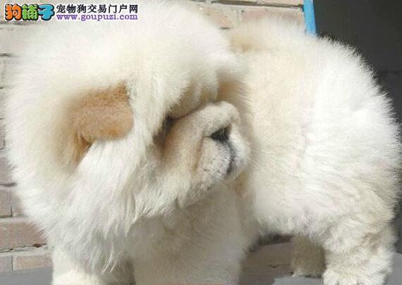 黄灰色紫舌头的沈阳松狮犬火爆热卖中 终身完美的售后