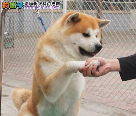 犬舍直销纯日系秋田犬苏州周边城市可上门选购