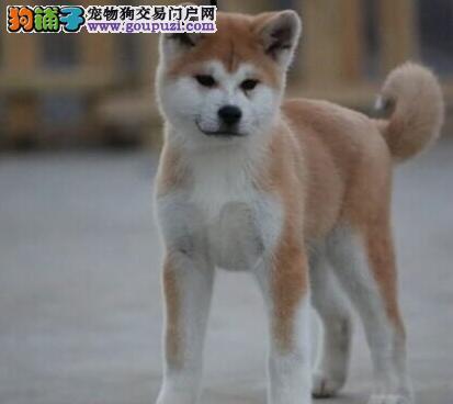 沈阳大型养殖场售日系血统秋田犬 忠诚主人听话易训练