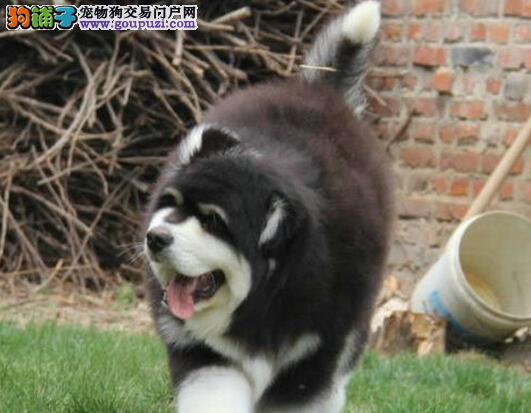 上海精品巨型阿拉斯加犬签协议出售阿拉斯加好养活