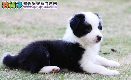 边境牧羊犬纯种家养七白到位陨石色冠军宠物赛级
