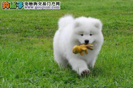 金华售纯种萨摩幼犬小萨 微笑天使幼犬欢迎选购