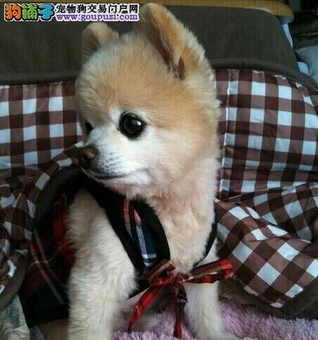 纯种小体博美犬出售 包纯种健康 当场检测父母 签协议