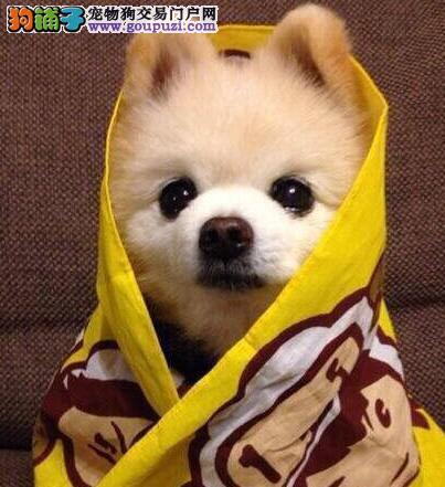 萌妹纸的首选哈多利球版博美犬步伐轻盈可爱待售
