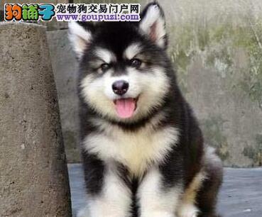 特价出售阿拉斯加幼犬