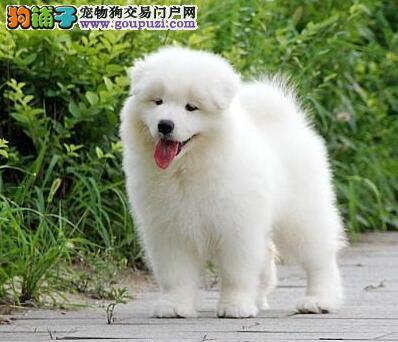 北京狗场直销纯种萨摩耶幼犬 包养活签协议西摩犬出售