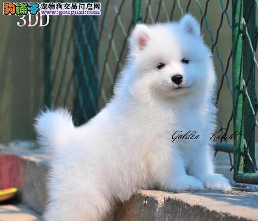 大毛量没有任何杂毛的萨摩耶幼犬出售中 大连市内送货