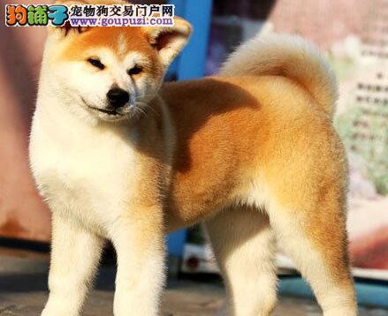 西安家养一窝纯种聪明日本秋田犬转让 血统纯包养活
