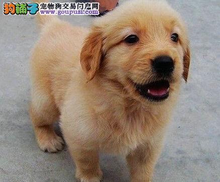 出售纯种金毛 CKU认证犬舍 三年联保协议