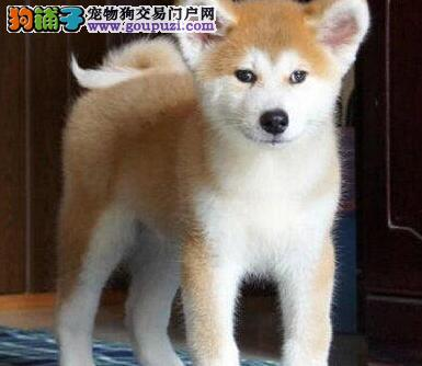 出售纯血统长沙秋田犬疫苗已做可签订购买协议