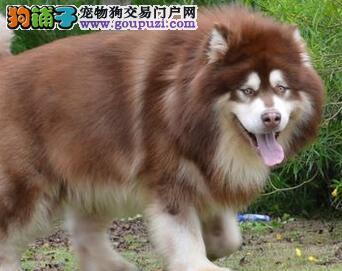 帅气阿拉斯加雪橇犬郑州有售可24小时视频看狗全国空运