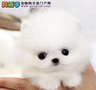 上海本地犬舍繁殖白色博美犬 棕色博美幼犬包打疫苗