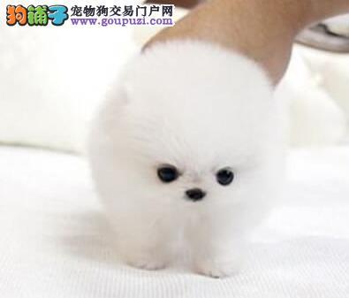 南昌专业犬舍繁殖出售优秀博美犬 哈多利版疫苗已做齐