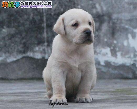 最佳伴侣犬拉布拉多出售 专业繁殖品质保证实物拍摄