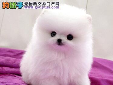 深圳繁殖出售萌系博美 哈多利球体博美犬 健康纯种质保