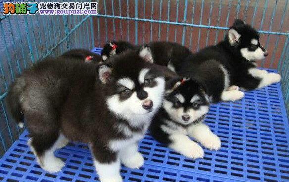 赛级品相封阿拉斯加犬幼犬低价出售下单有礼全国包邮