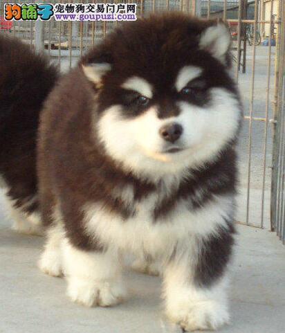 霸气十足的阿拉斯加犬找新家 温州市内可免费送货上门