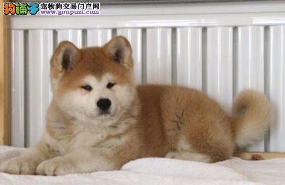 基地直销赛级品质青岛秋田犬好品相毛色亮丽