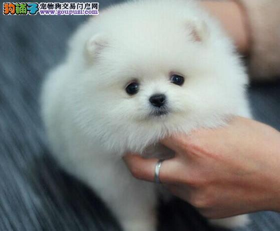 品质优良血统纯正的贵阳博美犬找新家 1~3窝可以选择
