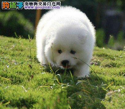 上海出售微笑天使萨摩耶犬 长相甜美 疫苗驱虫均已做