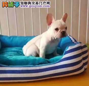 贵阳八年老店出售纯种斗牛犬 包健康可加微信看视频