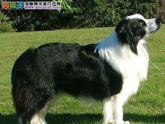 国际注册犬舍 出售极品赛级边境牧羊犬幼犬包售后包退换