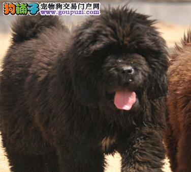 专业犬舍专业繁殖出售优秀狮王血系藏獒 深圳同城可送