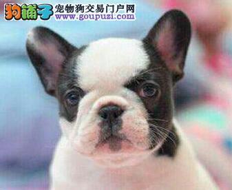郑州哪里有正规犬舍繁殖可爱法牛宝宝 CKU认证绝对信誉