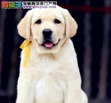 南宁大头宽嘴拉布拉多犬冠军传承拉拉幼犬价格合理