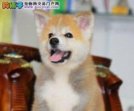 纯正血统的南宁秋田犬低价转让 正宗日系血统公母都有