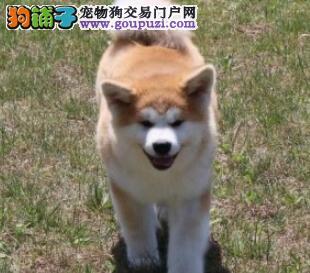 纯日系顶级纯种秋田犬特价转让品相好健康
