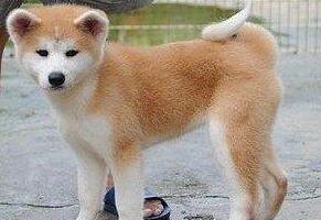 黑河养殖场售可爱活泼秋田犬优惠纯种健康低价可签协议