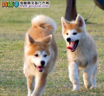 预售优秀极品日系海口秋田犬 可接受预定品相好毛色佳